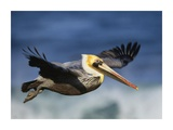 Brown Pelican flying, North America Affiches par Tim Fitzharris