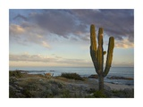 Saguaro cactus at beach, Cabo San Lucas, Mexico Print by Tim Fitzharris