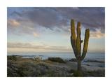 Saguaro cactus at beach, Cabo San Lucas, Mexico Print by Tim Fitzharris