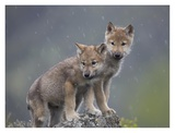 Gray Wolf pups in light snowfall, North America Prints by Tim Fitzharris