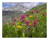 Paintbrush flowers, Yankee Boy Basin, Colorado Affiches par Tim Fitzharris