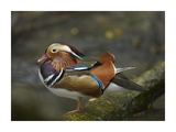 Mandarin Duck male, Jurong Bird Park, Singapore Poster by Tim Fitzharris