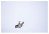 Timber Wolf pair howling in snow, North America Posters by Tim Fitzharris