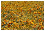 California Poppies and Golden Yarrow California Poster by Tim Fitzharris