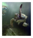 Green Sea Turtle and fish, Sabah, Malaysia Print by Tim Fitzharris