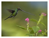 Sword-billed Hummingbird and insect, Ecuador Art by Tim Fitzharris