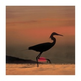 Little Egret silhouetted at sunset, Africa Prints by Tim Fitzharris