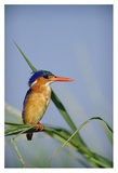 Malachite Kingfisher perching on reeds, Kenya Affiches par Tim Fitzharris