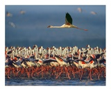 Lesser Flamingo flying over flock, Lake Nakuru, Kenya Prints by Tim Fitzharris