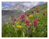 Paintbrush flowers, Yankee Boy Basin, Colorado Posters by Tim Fitzharris