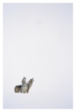 Timber Wolf pair howling in snow, North America Prints by Tim Fitzharris