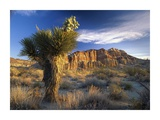 Joshua Tree at Red Rock State Park, California Posters by Tim Fitzharris