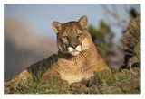 Mountain Lion portrait, North America Prints by Tim Fitzharris