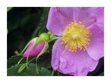 Rose flower, British Columbia, Canada Stampe di Tim Fitzharris