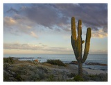 Saguaro cactus at beach, Cabo San Lucas, Mexico Prints by Tim Fitzharris