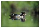 Wood Duck male portrait, British Columbia, Canada Print by Tim Fitzharris