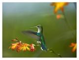 Green-crowned Woodnymph female landing, Ecuador Print by Tim Fitzharris