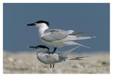 Sandwich Tern couple courting, North America Art by Tim Fitzharris