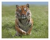Siberian Tiger running, native to Russia Reprodukcje autor Tim Fitzharris