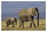 African Elephant mother leading calf, Kenya Print by Tim Fitzharris