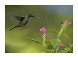Sword-billed Hummingbird and insect, Ecuador Posters by Tim Fitzharris