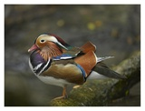 Mandarin Duck male, Jurong Bird Park, Singapore Prints by Tim Fitzharris