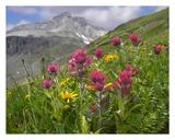 Paintbrush flowers, Yankee Boy Basin, Colorado Reproducción por Tim Fitzharris