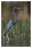Tricolored Heron wading, North America Print by Tim Fitzharris
