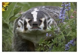 American Badger amid Lupine, North America Prints by Tim Fitzharris