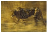 Cheetah running through dry grass, Zimbabwe Prints by Tim Fitzharris