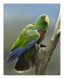 Eclectus Parrot male, Jurong Bird Park, Singapore Posters by Tim Fitzharris