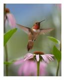 Rufous Hummingbird male feeding on flower nectar Posters par Tim Fitzharris