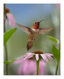 Rufous Hummingbird male feeding on flower nectar Posters by Tim Fitzharris