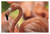 Greater Flamingo, Jurong Bird Park, Singapore Art by Tim Fitzharris