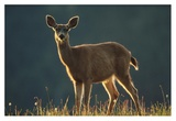 Mule Deer portrait in alpine meadow, Washington Prints by Tim Fitzharris