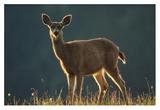 Mule Deer portrait in alpine meadow, Washington Prints by Tim Fitzharris