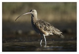 Long-billed Curlew wading, North America Prints by Tim Fitzharris