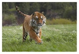 Siberian Tiger running, native to Russia Print by Tim Fitzharris