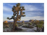 Joshua Tree, Joshua Tree National Park, California Prints by Tim Fitzharris