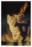 Bobcat kitten standing on log, North America Posters by Tim Fitzharris