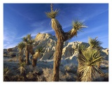 Joshua Trees in Red Rock Canyon State Park, California Prints by Tim Fitzharris