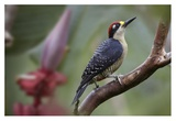 Black-cheeked Woodpecker male, Costa Rica Posters par Tim Fitzharris