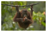 Orangutan young eating fruit, Sabah, Borneo, Malaysia Kunst av Tim Fitzharris