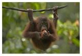 Orangutan young eating fruit, Sabah, Borneo, Malaysia Art by Tim Fitzharris