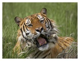 Siberian Tiger yawning, endangered, native to Siberia Prints by Tim Fitzharris