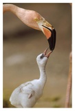 Greater Flamingo mother and chick, Caribbean species Prints by Tim Fitzharris
