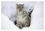 Snow Leopard adult portrait in snow, native to Asia Posters by Tim Fitzharris