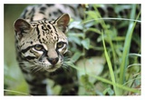 Ocelot portrait, Belize, Central America Art by Tim Fitzharris