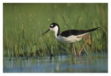 Black-necked Stilt wading through reeds, North America Poster par Tim Fitzharris