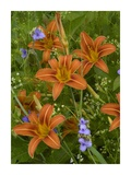 Orange Daylily with Virginia Spiderwort North America Poster by Tim Fitzharris